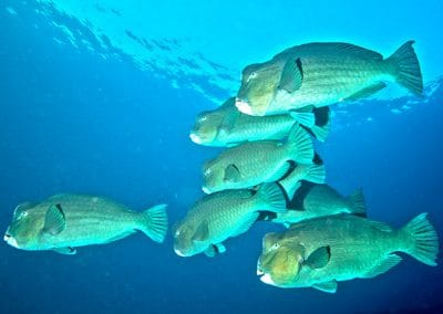 Green humphead parrotfish komodo