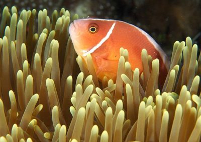poisson clown komodo-photo3